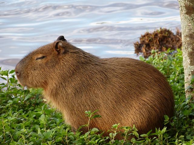 kapybara v trávě