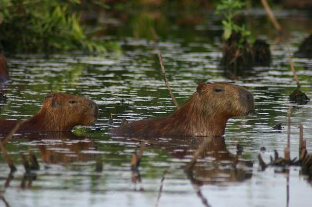 kapybary ve vodě