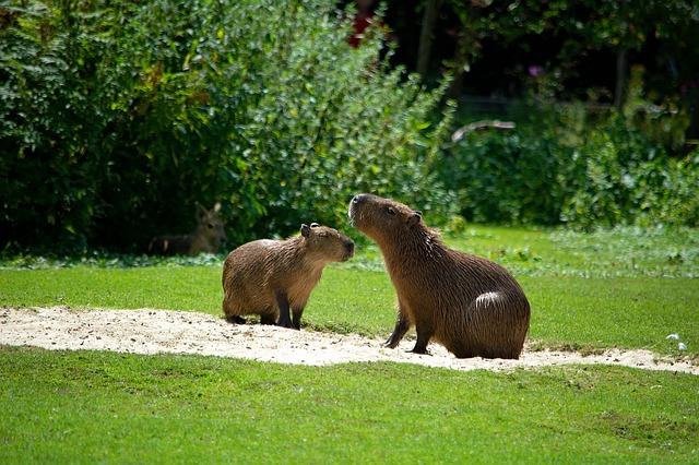dvě kapybary