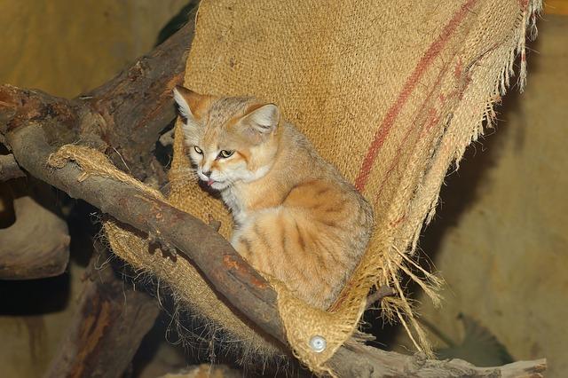 pouštní kočka