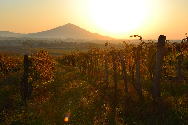 západ slunce na vinici